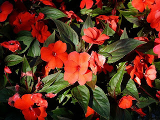 Impatiens x hawkeri 'Divine Orange Bronze Leaf'