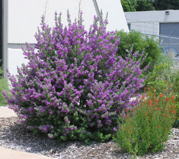 Gardening South Florida Style Fast Growing Shrubs In