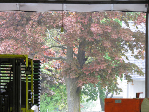 maple tree through rain