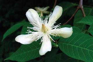 โมกราชินี (โมกสิริกิติ์) ลักษณะดอก, ประวัติการค้นพบ