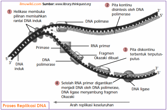 Gambar Proses replikasi DNA - tahapan replikasi DNA