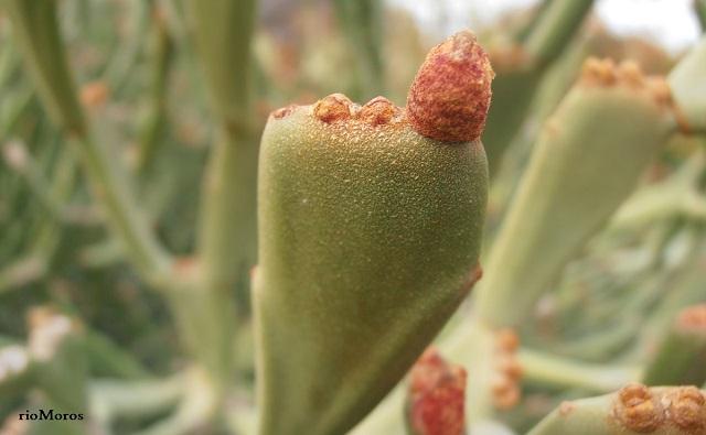 Euforbia intestinal Euphorbia enterophora