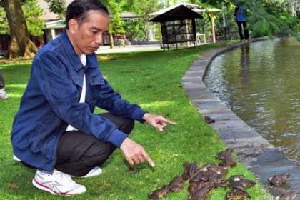 Astaghfirullah, Ribuan Kodok Pak Jokowi Musnah Disantap Biawak Nyasar