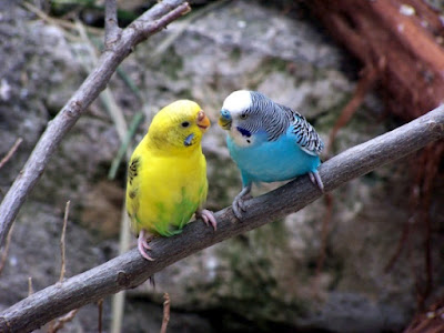 Most parakeets / budgies are normal, but the feather duster mutation is rare by very harmful