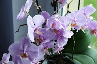 como-cultivar-orquideas