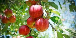 Konsumsi Apel Sangat Baik Bagi Kesehatan