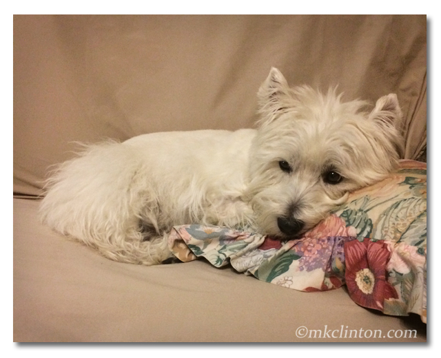 Pierre the Westie is relaxing after babysitting all night