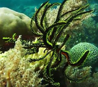 Lili Laut Hewan Echinodermata