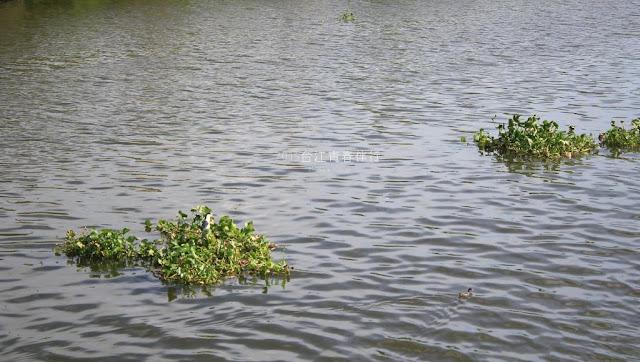 河道上的布袋蓮,成了飛羽短暫的休憩處。