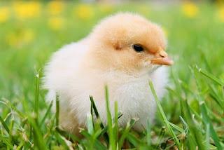 Menejemen Pakan Ayam Bloiler dari DOC sampai Dewasa siap panen