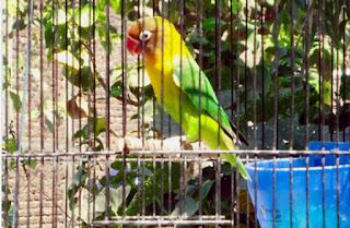 Burung Lovebird - Penjemuran Burung Lovebird - Penjemuran yang Sesuai Bagi Burung Lovebird