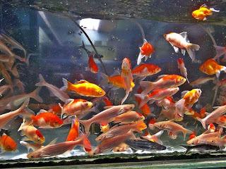Modal Usaha Ikan Hias Air Tawar