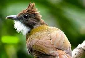 Burung Cucak Jenggot - Mengenal Burung Cucak Jenggot Lebih Dekat - Penangkaran Burung Cucak Jenggot