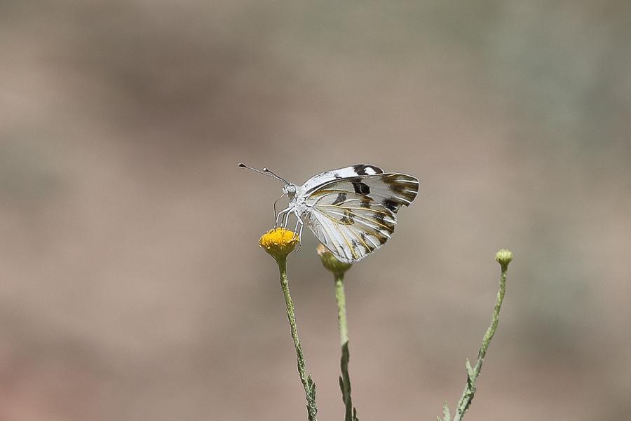 Desert White