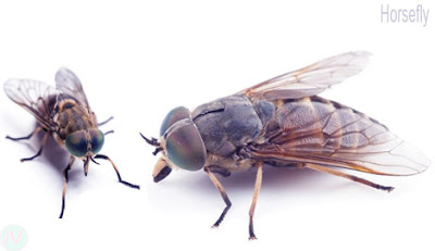 Horsefly insect