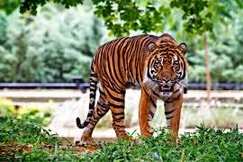 Harimau yakni binatang mamalia yang tergolong karnivora Ciri-Ciri Harimau