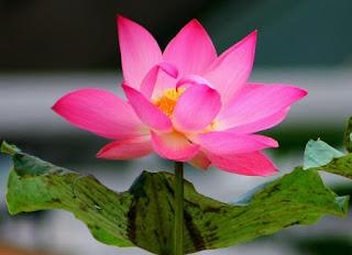 arti bunga teratai,ciri-ciri bunga teratai,ciri khusus bunga teratai,khasiat bunga teratai,manfaat bunga teratai,bunga teratai putih,cara menanam bunga teratai,
