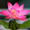 Khasiat Bunga Teratai Bagi Kesehatan