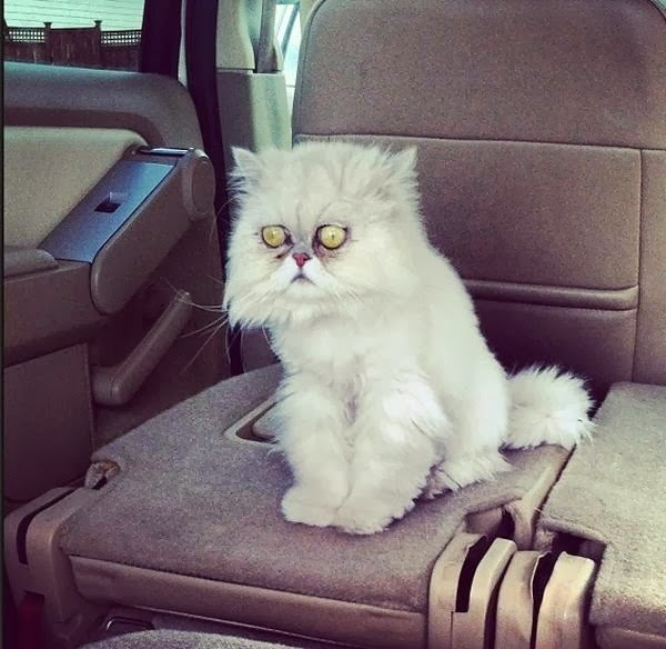 Funny cats - part 93 (40 pics + 10 gifs), cat with crazy eyes