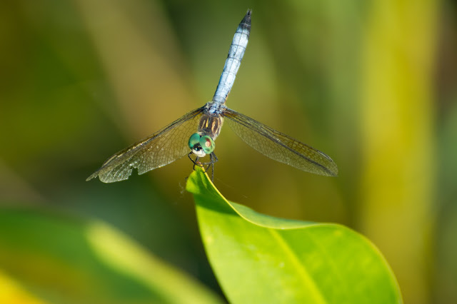 Blue Dasher, LLELA