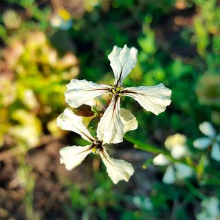Рукола цвете