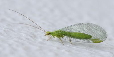 ωφέλιμα έντομα-Lacewings