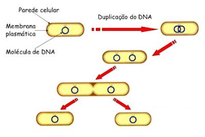 reino monera reprodução bactérias