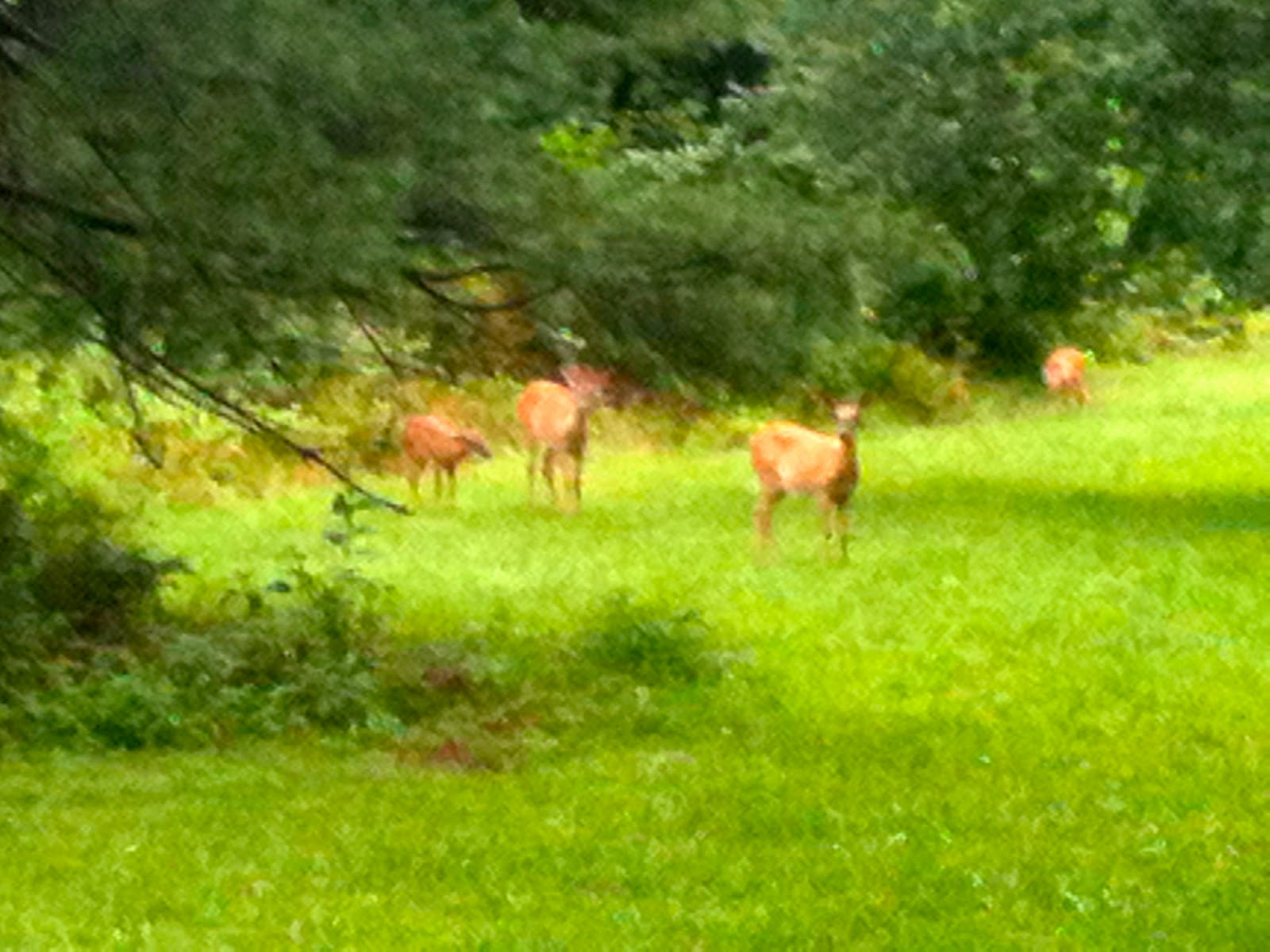 Deer at the Peaks of Otter Lodge - Blue Ridge Parkway - VA