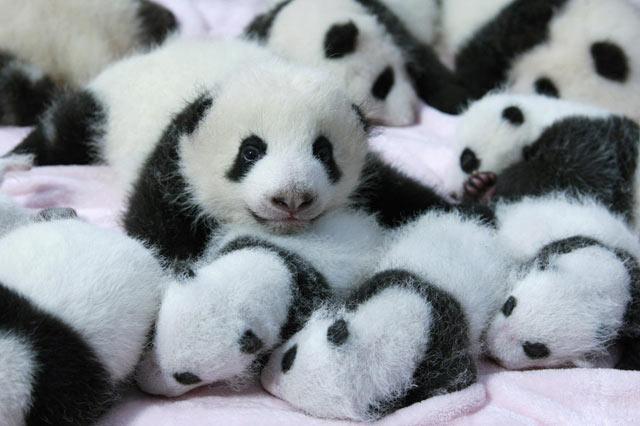 Bayi-Bayi Panda ini Lucu Banget, Bisa Bisanya Unjuk Gigi Saat Dilihat Turis