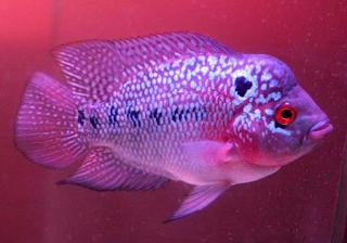 Ikan louhan kamfa merupakan salah satu jenis ikan louhan tercantik dan termahal d Kabar Terbaru- IKAN LOUHAN KAMFA