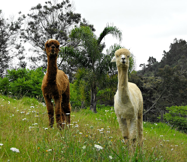 Caramel and cream alpacas