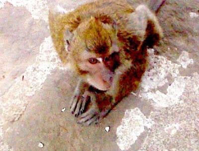 Monyet Wisata Jumprit