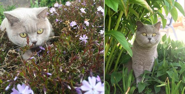 Katze, Britisch Kurzhaar, British Shorthair, grey, lilac, cat, pet