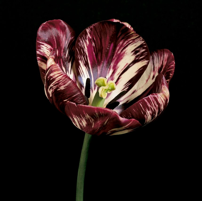 Tulip 'Semper Augustus' does it still exist?