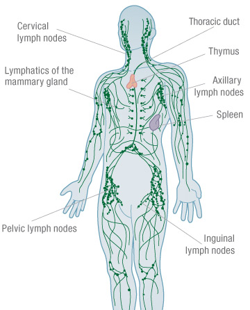 Lymph nodes diagram no labels auto wiring diagram today lymphatic system 1 jpg rh biologyforcsec blogspot com abdominal lymph nodes diagram lymph node locations female ccuart Gallery