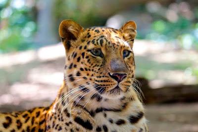 Leopardo, Panthera pardus, Panthera, ataque de leopardo, captura, Leopard, Panthère, Léopard, Pantera, Leopard attack, Felis pardus, animal, animais, fauna, ataque del leopardo, Leopard -Angriff, attacco Leopard, felis, nature, conservation, wildlife, asia, europa, africa