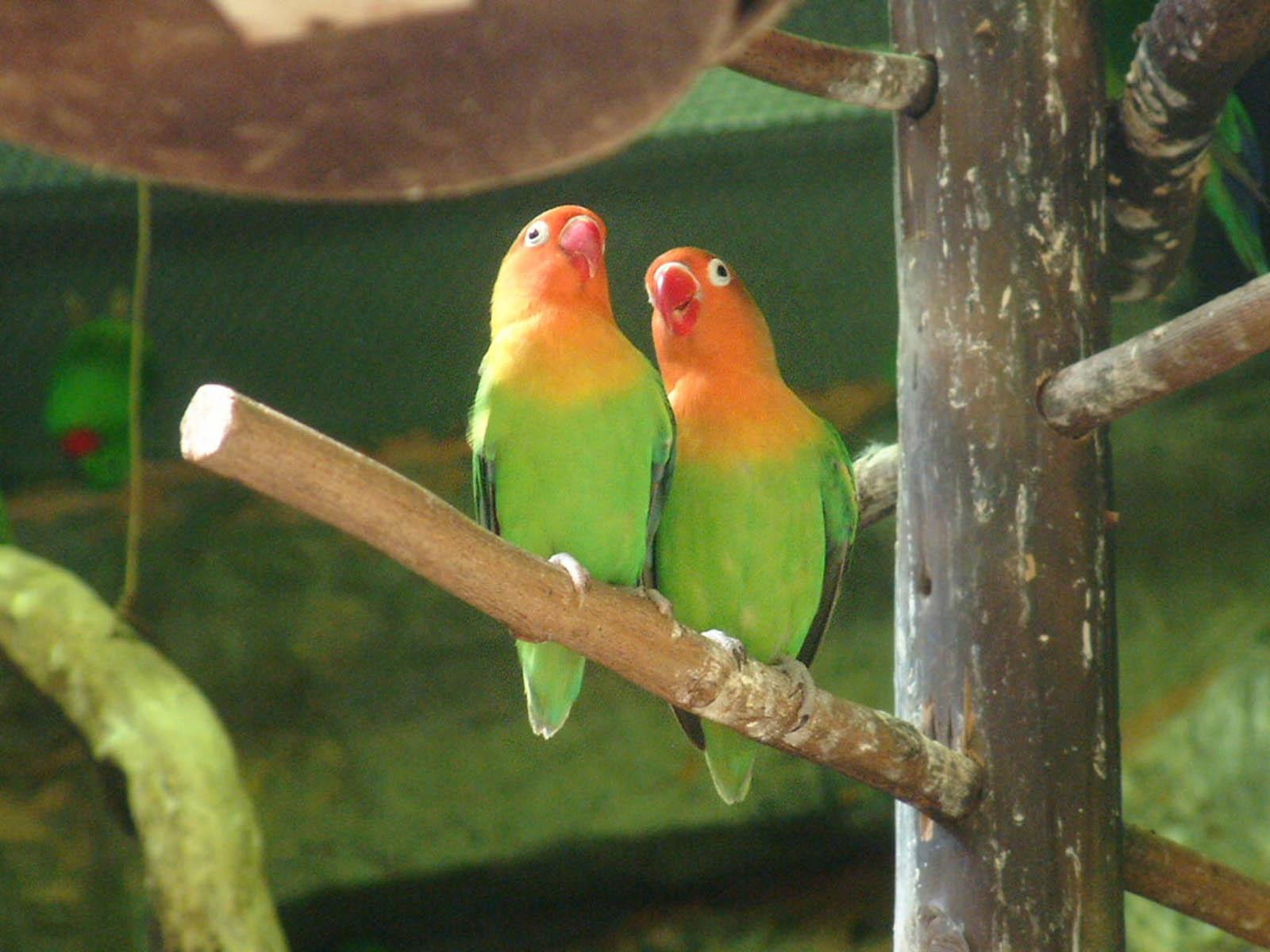 Wallpapers: Love Birds Wallpapers
