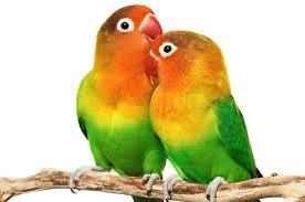 lovebird mati mendadak, lovebird mati