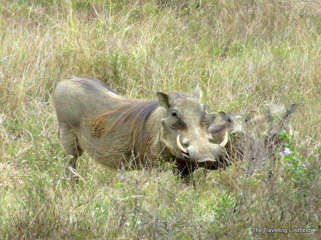 warthog at Shamwari