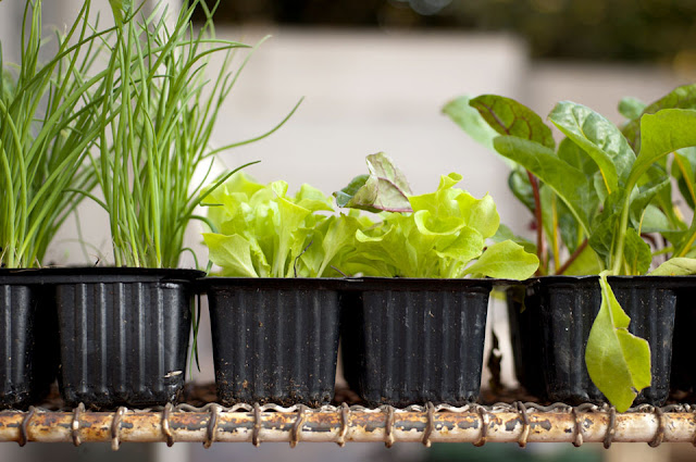 growing salad