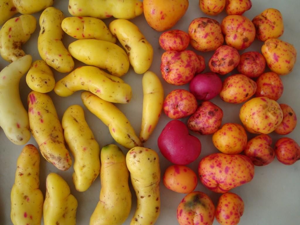 Best fresh - Mejor fresco!: El OLLUCO, un tubérculo que forma parte de la dieta andina de América del Sur - OLLUCO, a tuber that is part of the Andean diet of