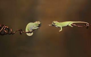 bayi binatang hewan chameleon