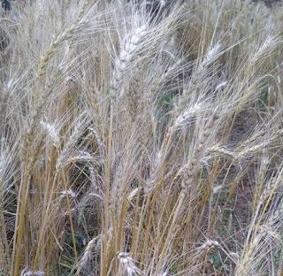 usaha tanam gandum