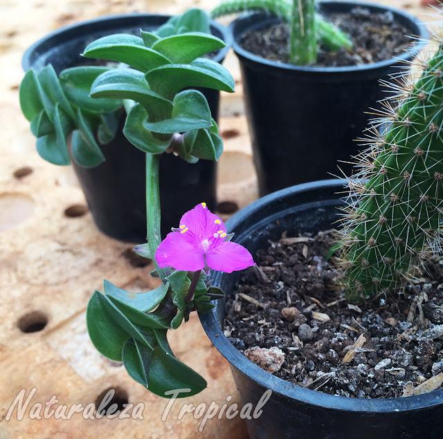 Propagación rastrera y floración de la planta suculenta Tradescantia navicularis (sin. Callisia navicularis)