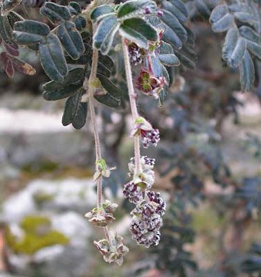 arboles nativos argentinos Queñoa Polylepis tomentella