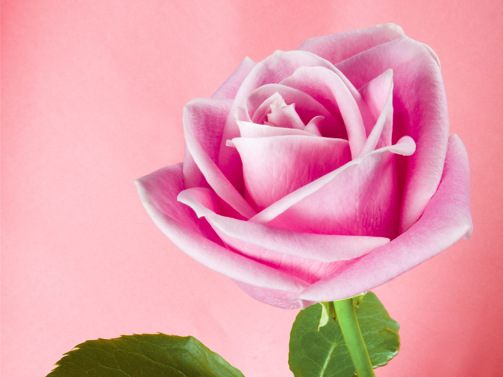 Wallpaper: Next Rosa Pink Wallpaper