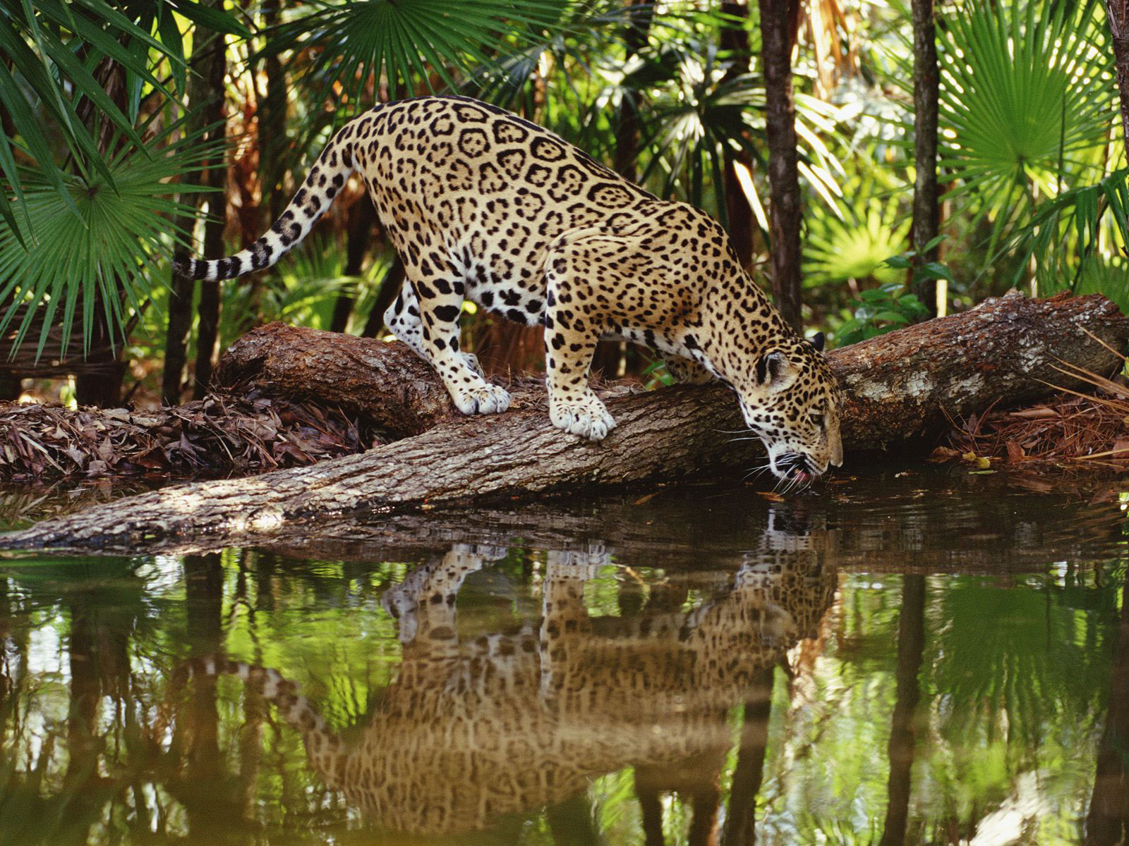 Qq wallpapers jaguars are the biggest of south america 39 s - Amazon rainforest animals wallpaper ...