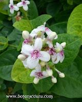 Pseuderanthemum carruthersii var. reticulatum