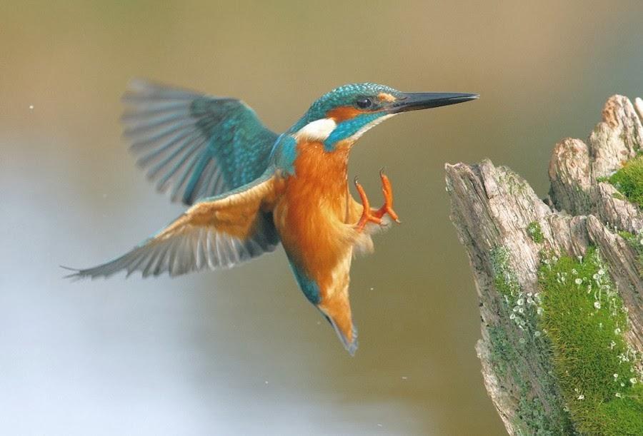 Kingfisher Flying BioTalks@Swanse...