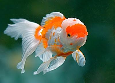 ikan mas koki cantik